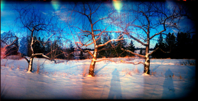 Les pommiers d'hiver