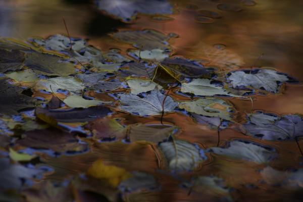 Foliage / Collection Fééries d'Automne