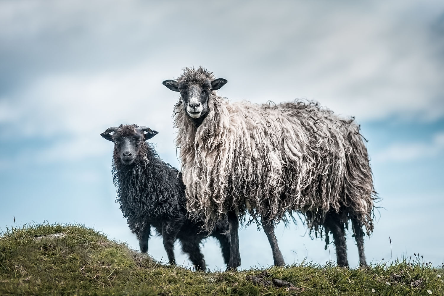 Faroe-Sheep