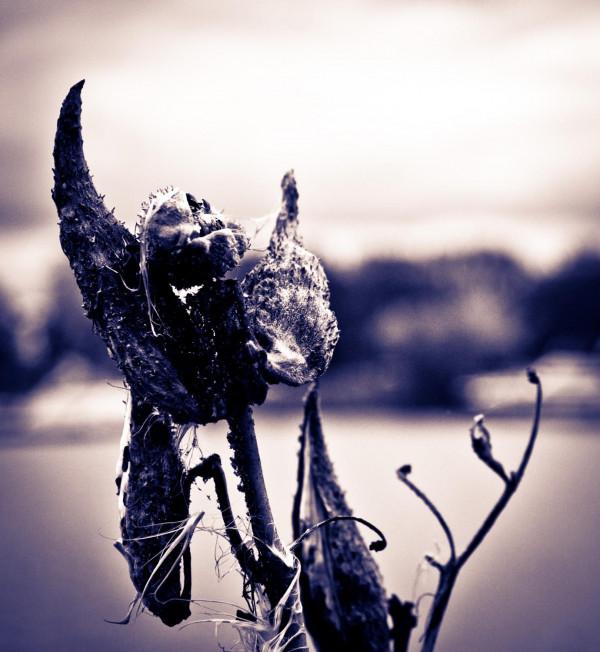 Asclépiade violet
